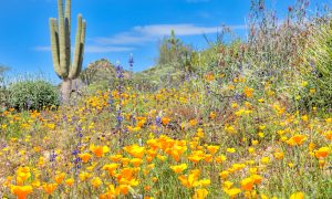 WHERE TO SEE WILDFLOWERS IN PHOENIX